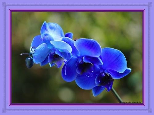 L'orchidée bleu-ciel