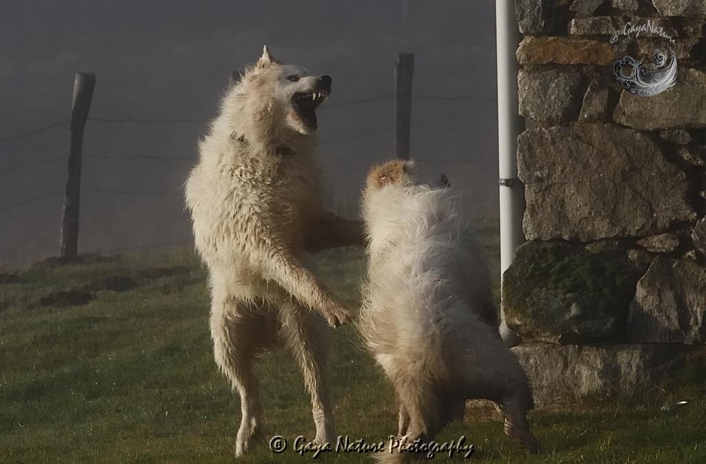 Combat d'ours blancs