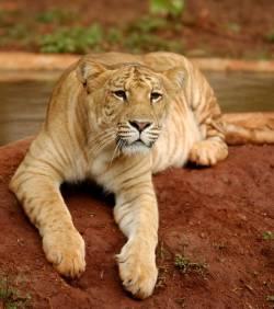 1838455454-deux-ligres-croisements-d-un-lion-et-d-une-tigre.jpg