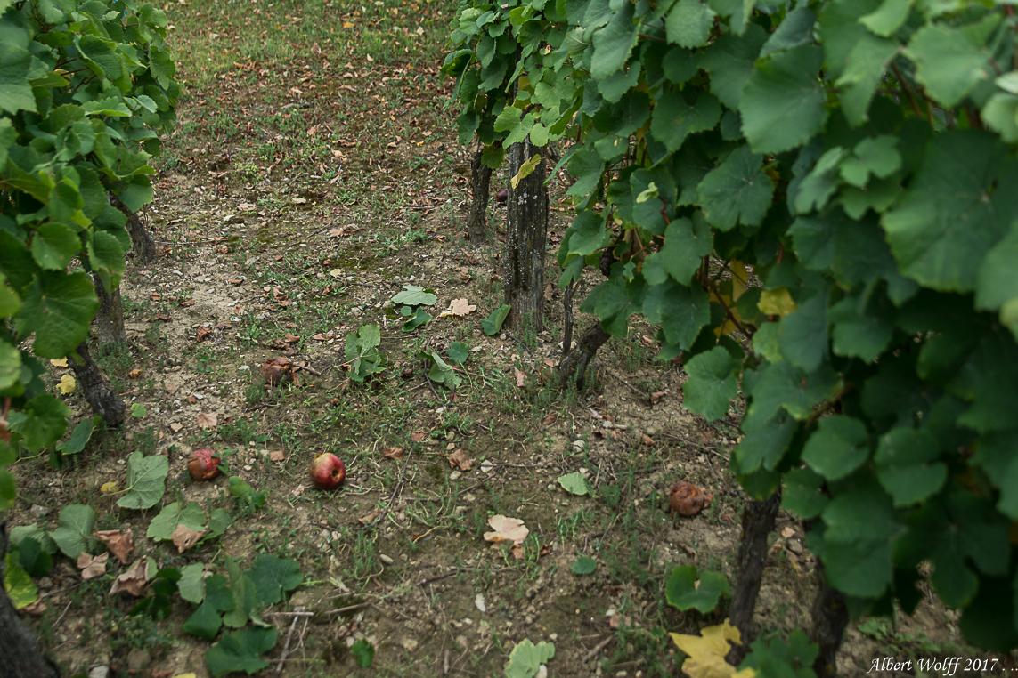 Dans les vignes - 2 - (fin)