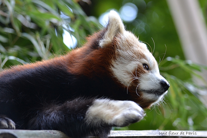 Spécial les 220 ans de la Ménagerie du Jardin des Plantes : Le Panda Roux