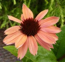 echinacea purpurea 'Summer Sky'