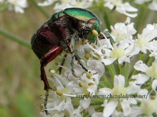 scarabe-SAM_0066.jpg