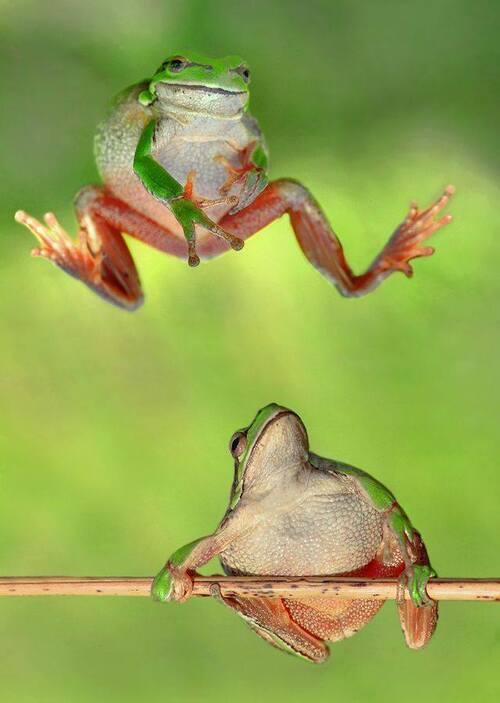 grenouilles de la Chabotterie