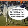 zébu reconnais pa chevaux.jpg