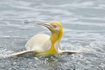 Le pingouin jaune ...