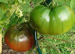 Tomate Noire de Crimee-11-08-11 004-copie-1