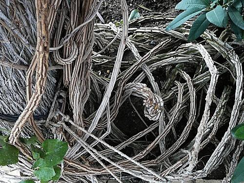 Aristolochia-gigantea-381.jpg