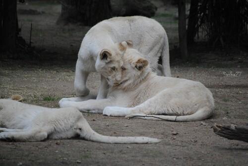 Malawo couché, et Thabana debout.