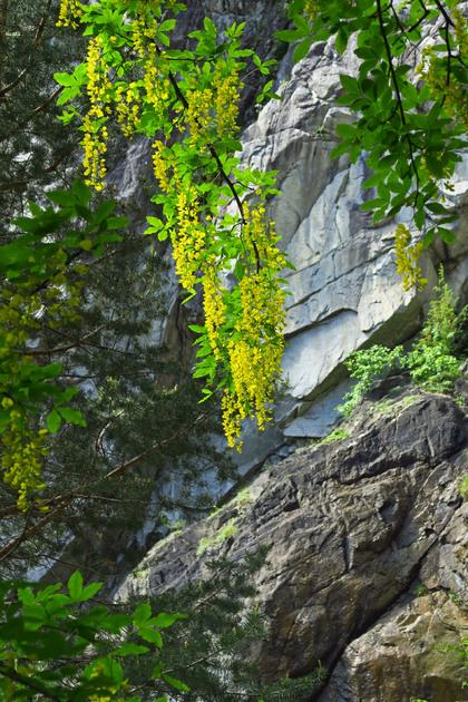 Touches de jaune dans les pins