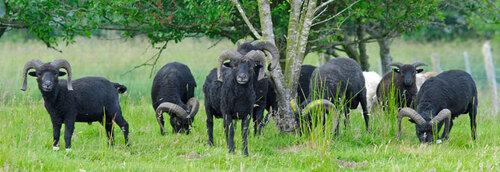 Les moutons de Ouessant.