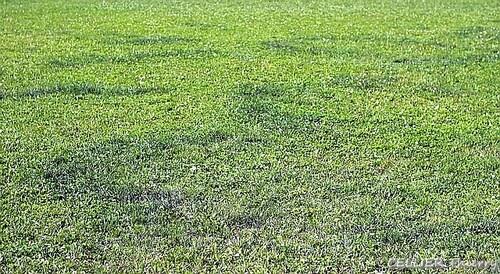 Marasme des oreades : le mousseron d'automne (marasmius oreades)
