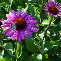echinacea-purpurea-elton-knight-
