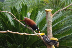 Montezuma Oropendola (Photo: Christian Wespiser)