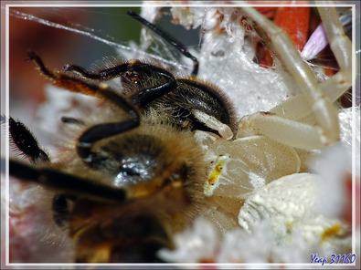 Suite : Araignée crabe Thomise enflée (Thomisus onustus) - Originaire de La Couarde - Île de Ré - 17