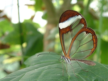 PapillonTranslucide (1)