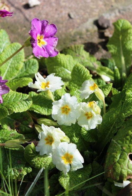 Symbole du printemps