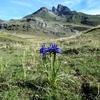 Iris des Pyrénées (Iris latifolia), devant le pic du Midi d'Ossau