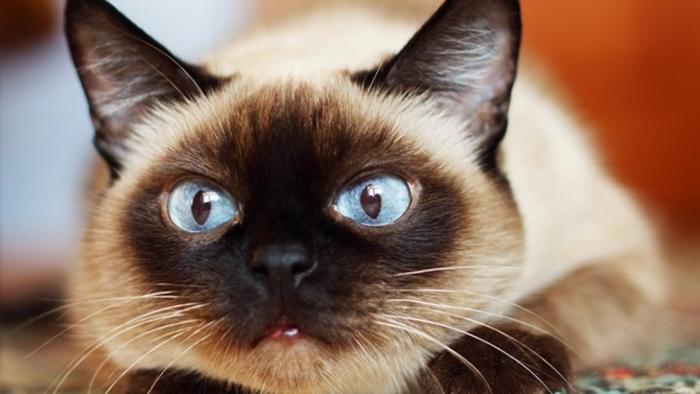 En réalité, les chats aiment autant leurs maîtres que les chiens