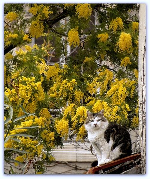 Le mimosa... et un chat en sus