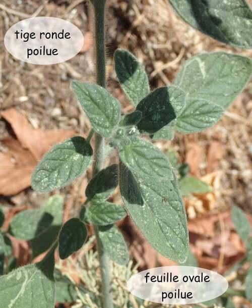 Fleurs cultivées : Héliotrope