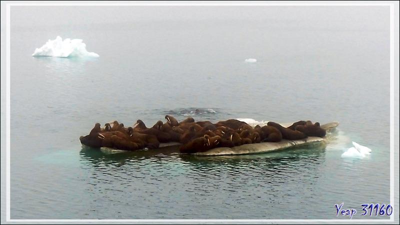 Une heure et demi après, rencontre avec une deuxième colonie de Morses, Walrus (Odobenus rosmarus) - Mer des Tchouktches - Alaska