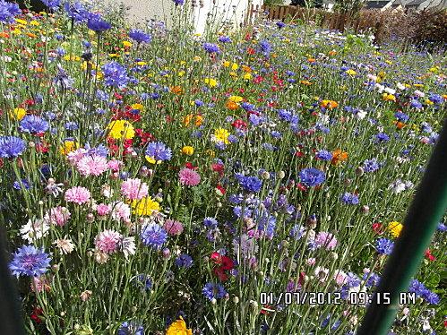 Fleurs-1er-Juillet-005.JPG