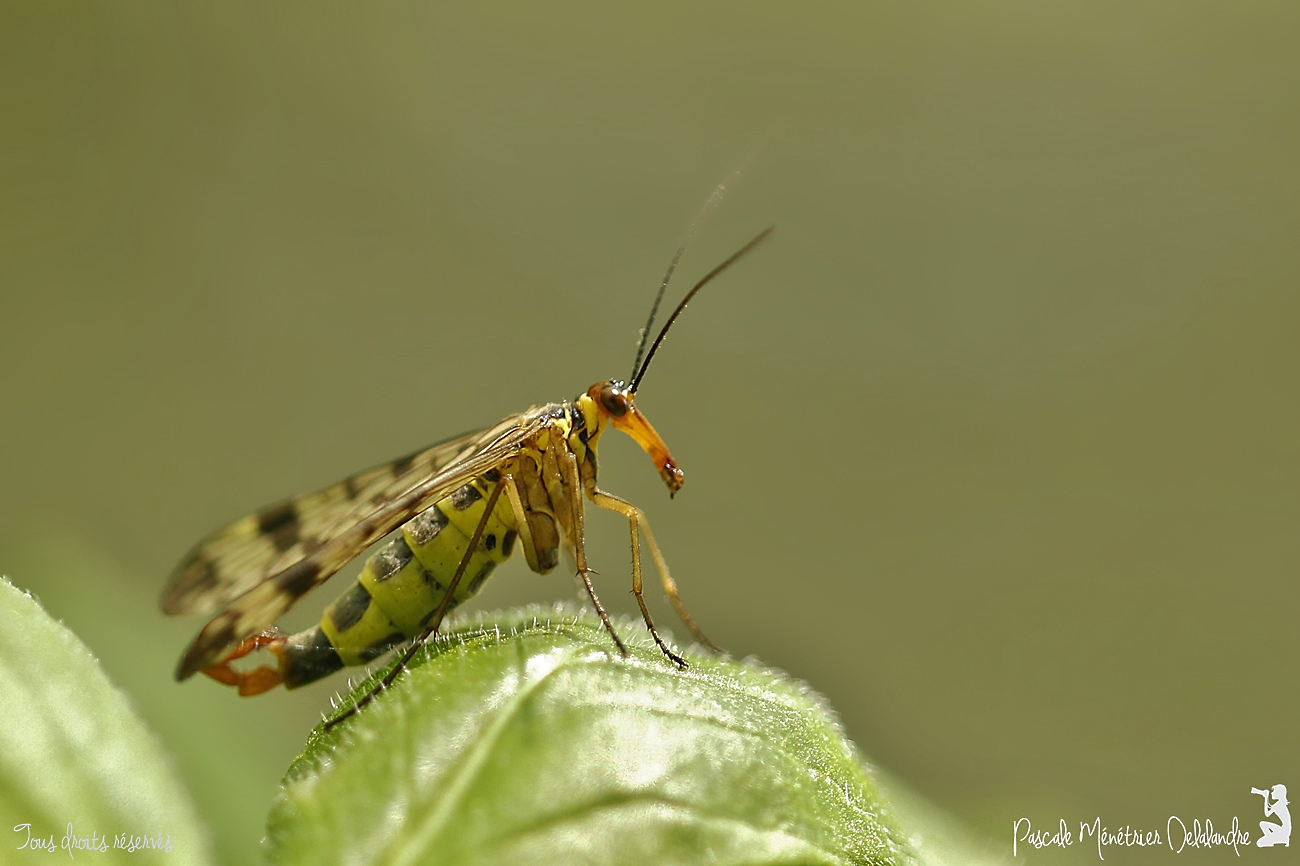 Panorpes ♂ ou mouche scorpion - Panorpa cognata