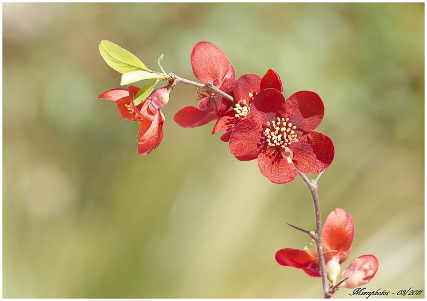 DSC03092 fleur de cognassier