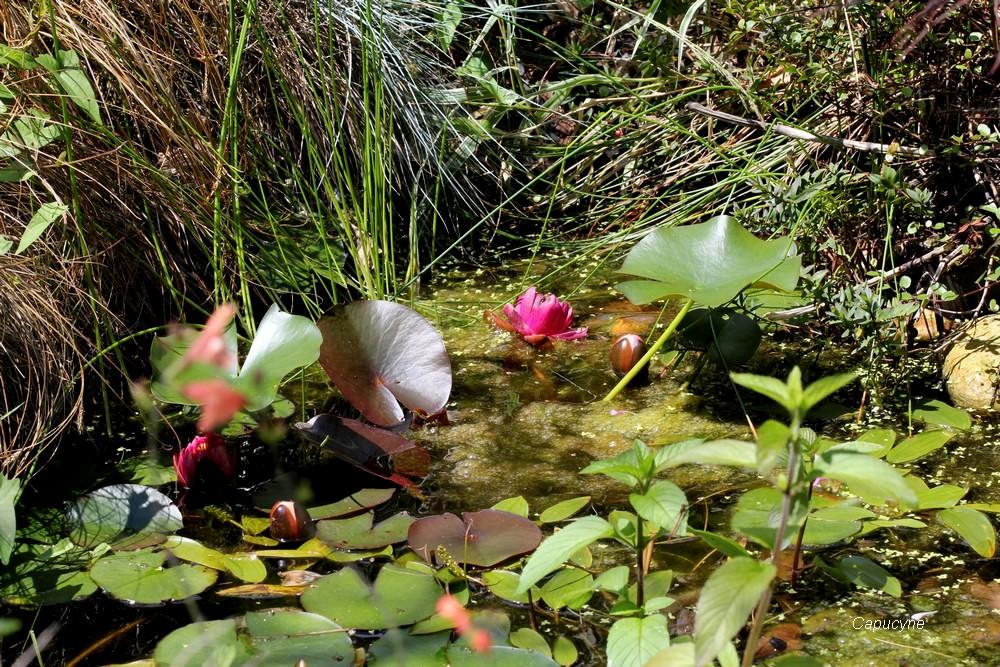 La mare en juin , grenouille et nénuphars