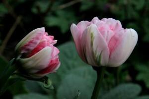 Tulipes Finola4