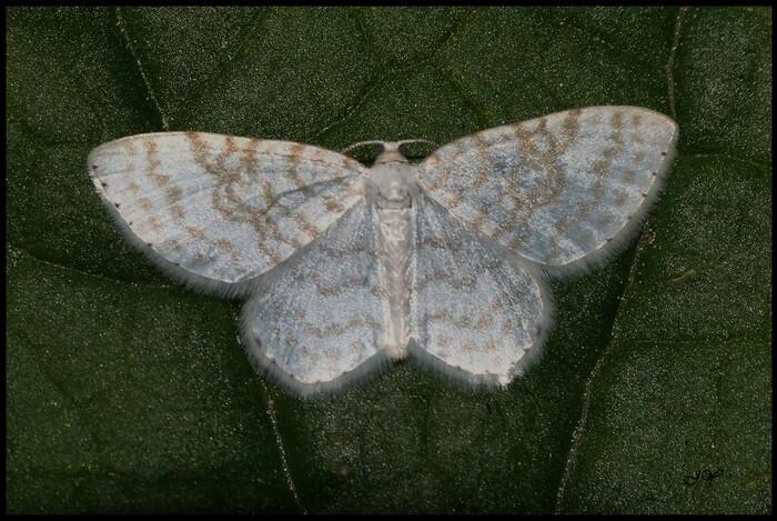 Asthena albulata.