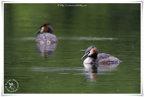 Grèbes huppés - Podiceps cristatus - Great Crested Grebe