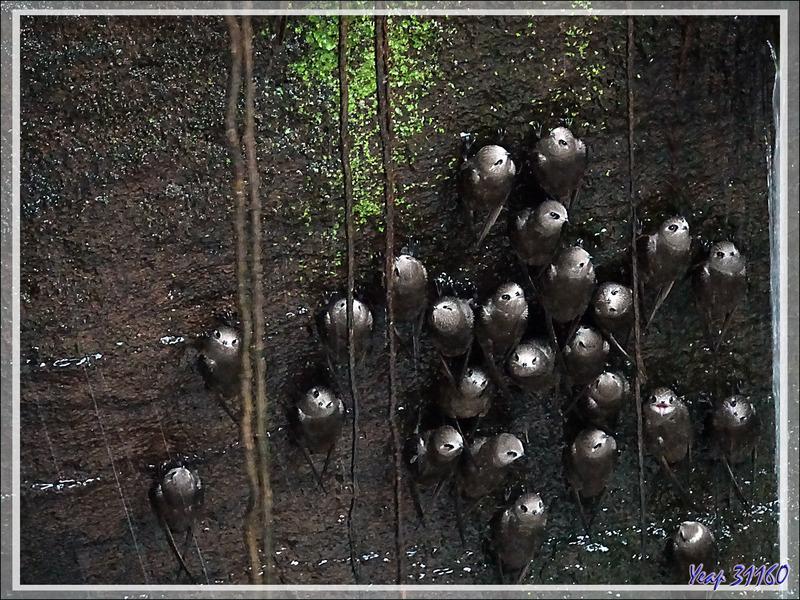 Martinet à tête grise, Great dusky swift, Taperuçu-velho, Vencejo de cascada (Cypseloides senex) - Chutes d'Iguazu - Puerto Iguazu - Argentine