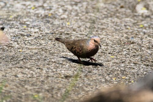 Colombe à Queue Noire (Common Ground Dove)