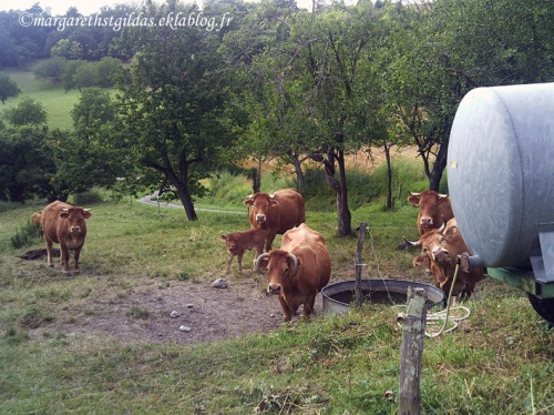 Nos amies les vaches - Our friends the cows