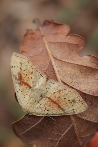 Phalène beige rayée de brun rosé, Cyclophora punctaria.