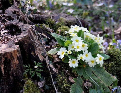 La primevère commune (Primula vulgaris)