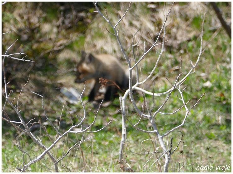 Un petit renard. (Communauté d'Amartia)