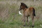 Foal de Cheval de Camargue
