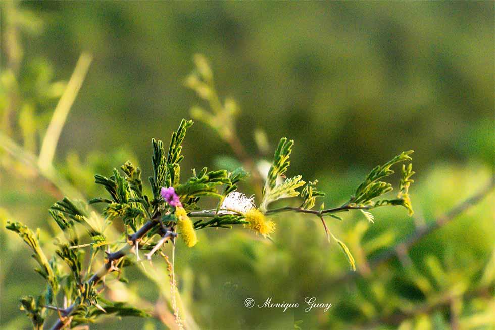 Fleur du bush: Kalahari Christmas Tree