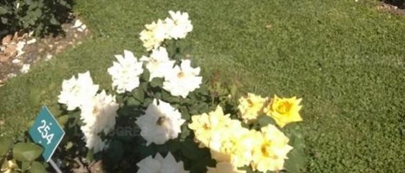 Les roses du Parc de la Tête D'Or