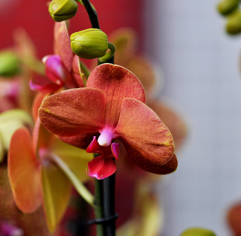 Exposition d'orchidées à Annequin (8)