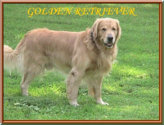 skipper-golden-retriever-stud