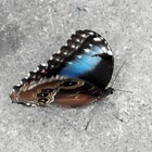 Morpho bleu - Photo : Michaël