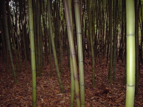 Les bambous de Lesperon