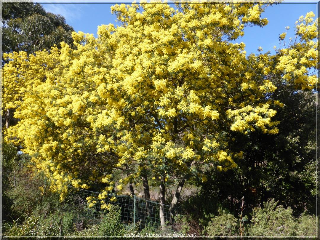 Mimosa le long du Fango - 26-02-2015