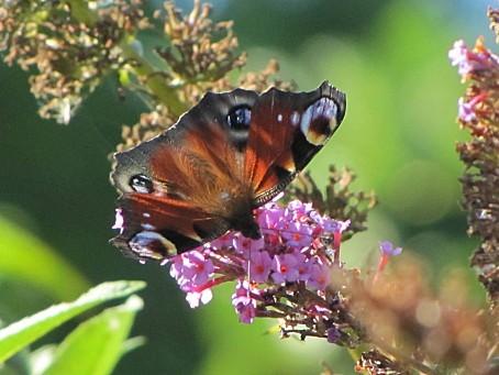 les-papillons-6423.JPG