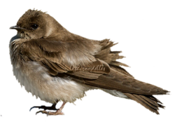 Hirondelles à ailes hérissées