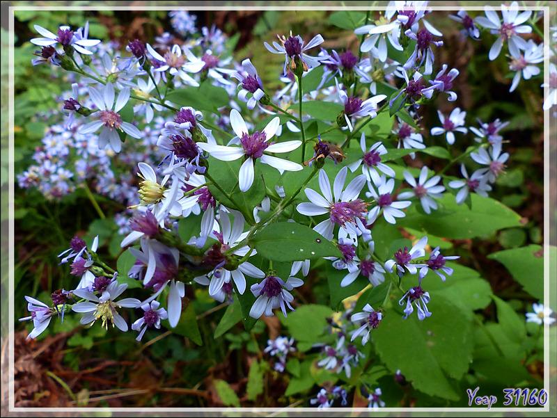 Aster à feuilles cordées, Heart-leaved Aster (Symphyotrichum cordifolium) - Mauricie - Québec - Canada